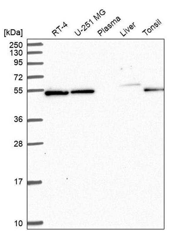 C7orf26 Rabbit anti-Human, Polyclonal, Invitrogen 100 µL; Unconjugated