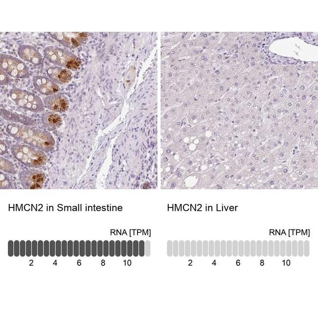 Hemicentin 2 Rabbit anti-Human, Polyclonal, Invitrogen 100 µL; Unconjugated