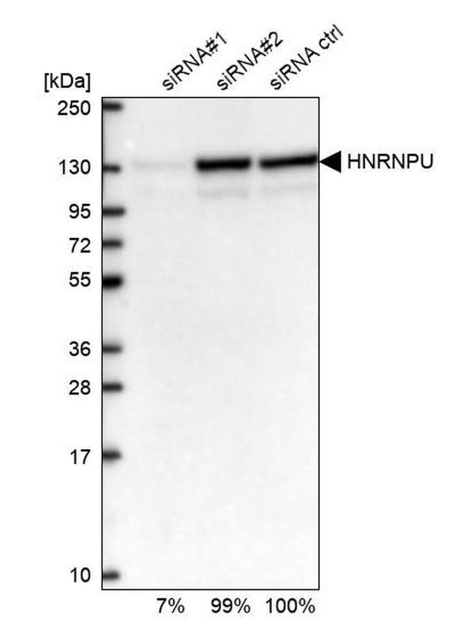 hnRNP U Rabbit anti-Human, Polyclonal, Invitrogen 100 µL; Unconjugated