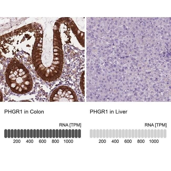 PHGR1 Rabbit anti-Human, Polyclonal, Invitrogen 100 µL; Unconjugated