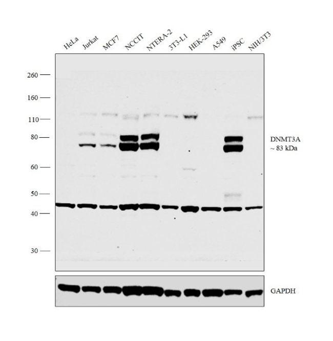 DNMT3A Rabbit anti-Human, Mouse, Polyclonal, Invitrogen 400 µL; Unconjugated