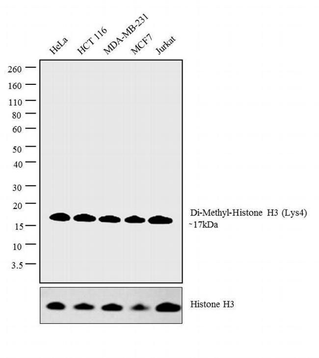 Di-Methyl-Histone H3 (Lys9) Rabbit anti-Drosophila, Human, Mouse, Non-human