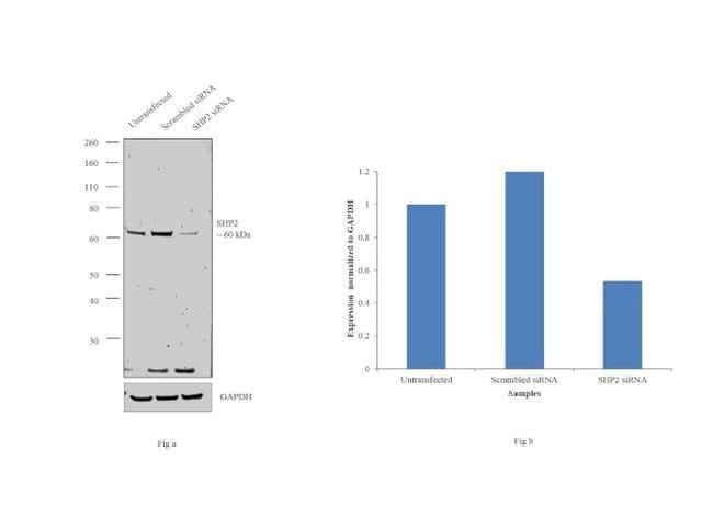 SHP2 Goat anti-Human, Mouse, Polyclonal, Invitrogen 100 µg; Unconjugated