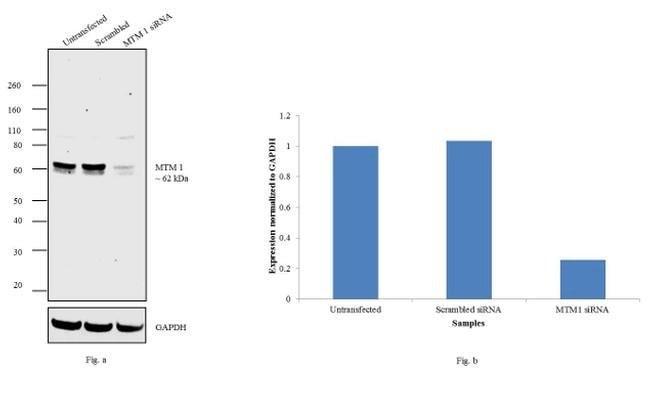 MTM1 Goat anti-Human, Mouse, Polyclonal, Invitrogen™ 100 μg; Unconjugated Primary Antibodies Mo to Mu