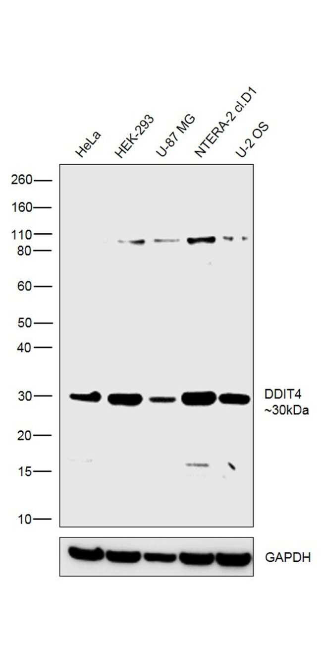 DDIT4 Rabbit anti-Human, Mouse, Rat, Polyclonal, Invitrogen 100 µg;