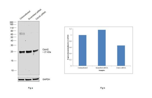 Cdc42 Chicken anti-Human, Mouse, Rat, Polyclonal, Invitrogen 100 µg;