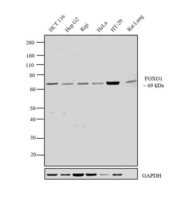 FOXO1 Rabbit anti-Human, Mouse, Rat, Polyclonal, Invitrogen 100 µg;