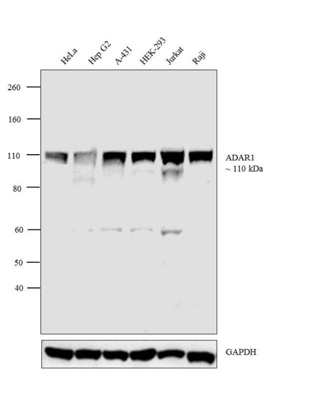 ADAR1 Rabbit anti-Human, Polyclonal, Invitrogen 100 µL; Unconjugated
