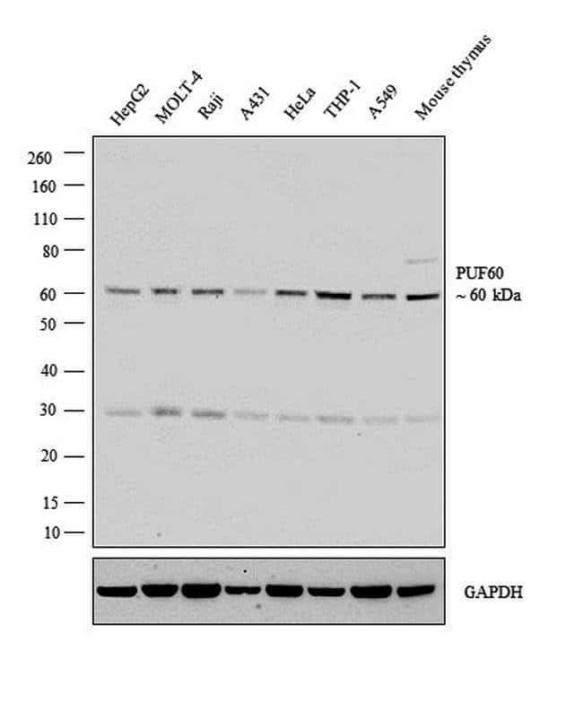 PUF60 Rabbit anti-Human, Mouse, Polyclonal, Invitrogen 100 µL; Unconjugated
