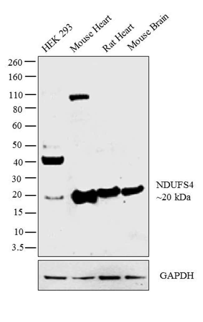 NDUFS4 Rabbit anti-Human, Mouse, Rat, Polyclonal, Invitrogen 100 µL;