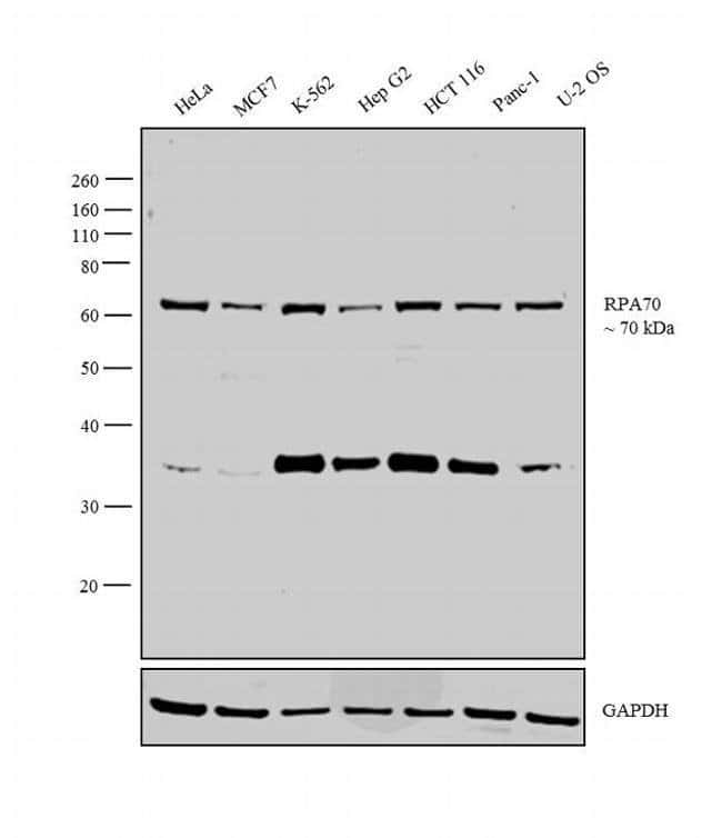 RPA70 Rabbit anti-Human, Mouse, Polyclonal, Invitrogen 100 µL; Unconjugated