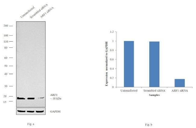 ARF1 Rabbit anti-Human, Mouse, Polyclonal, Invitrogen 100 µL; Unconjugated