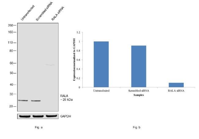 RALA Rabbit anti-Human, Mouse, Rat, Polyclonal, Invitrogen 100 µL;