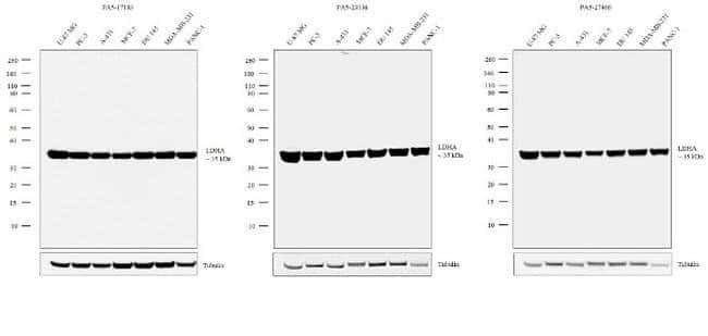 LDHA Rabbit anti-Human, Mouse, Polyclonal, Invitrogen 100 µL; Unconjugated