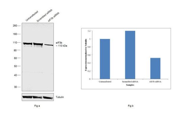 eIF3b Rabbit anti-Human, Mouse, Polyclonal, Invitrogen 100 µg; Unconjugated