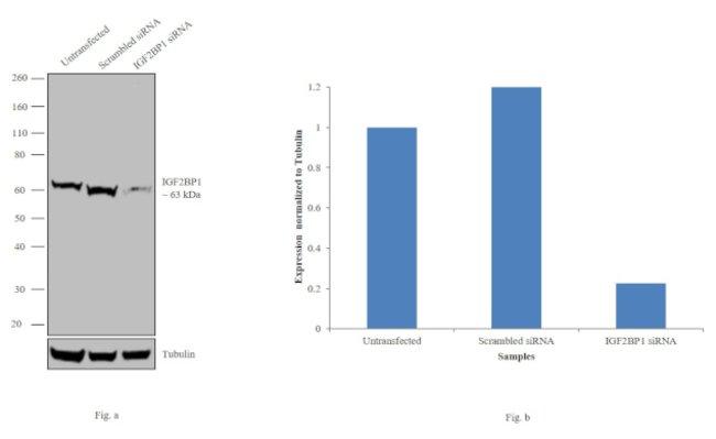 IGF2BP1 Rabbit anti-Human, Polyclonal, Invitrogen 400 µL; Unconjugated