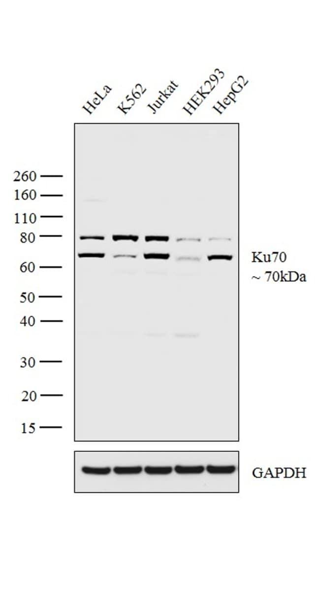 Ku70 Rabbit anti-Human, Polyclonal, Invitrogen 400 µL; Unconjugated
