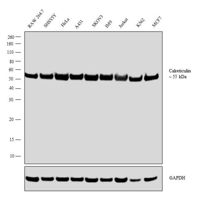 Calreticulin Rabbit anti-Human, Rat, Polyclonal, Invitrogen 400 µL;