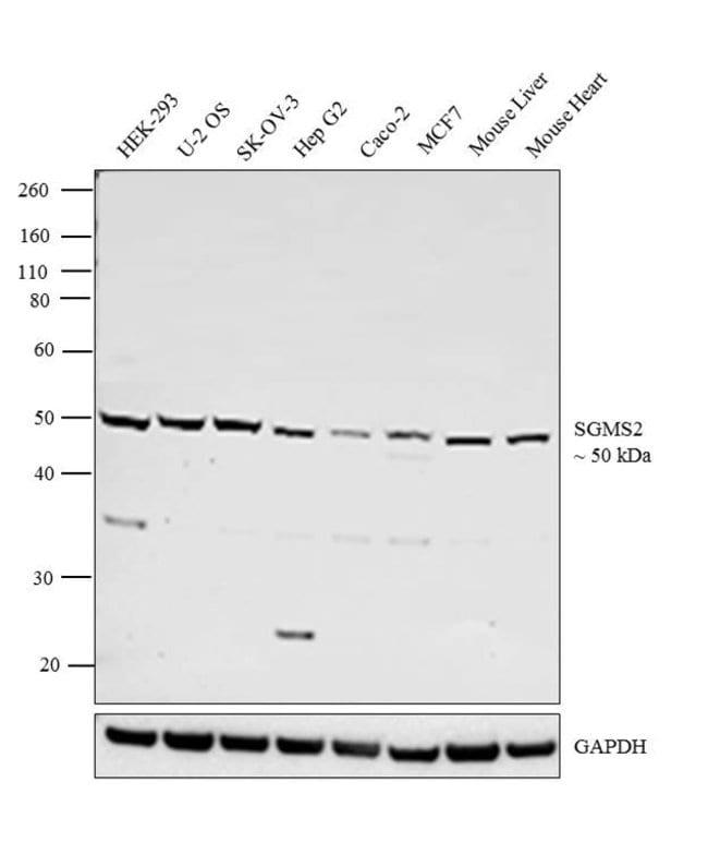 SGMS2 Rabbit anti-Human, Mouse, Polyclonal, Invitrogen 400 µL; Unconjugated