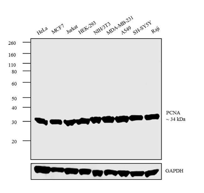 PCNA Rabbit anti-Human, Mouse, Rat, Polyclonal, Invitrogen 100 µL;