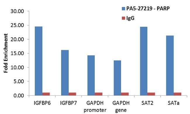 PARP1 Rabbit anti-Human, Polyclonal, Invitrogen 100 µL; Unconjugated