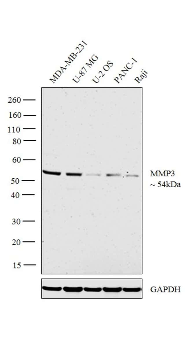 MMP3 Rabbit anti-Human, Polyclonal, Invitrogen 100 μL; Unconjugated:Antibodies