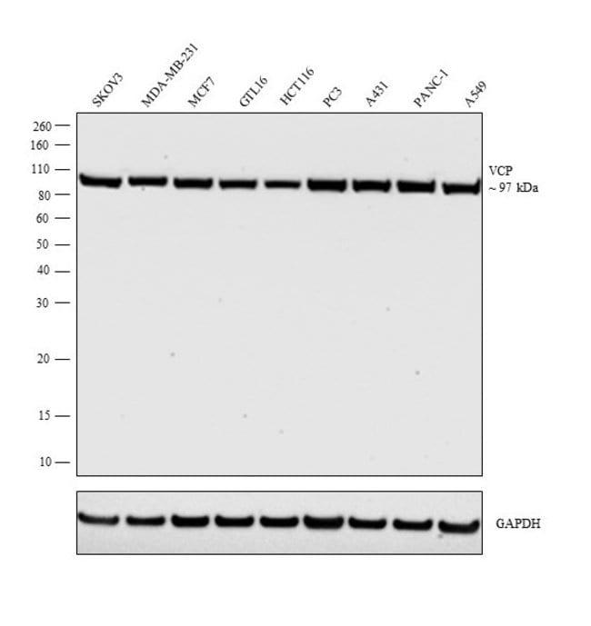 VCP Rabbit anti-Human, Mouse, Rat, Polyclonal, Invitrogen 100 µL;
