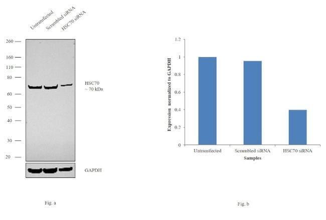HSC70 Rabbit anti-Human, Mouse, Polyclonal, Invitrogen 100 µL; Unconjugated
