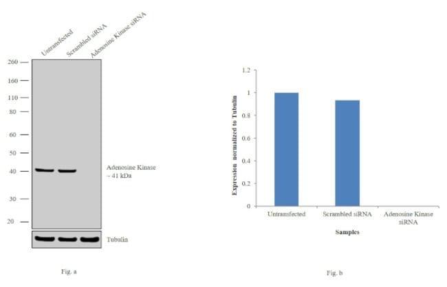 Adenosine Kinase Rabbit anti-Human, Mouse, Rat, Polyclonal, Invitrogen