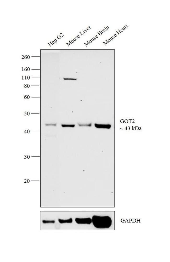 GOT2 Rabbit anti-Human, Mouse, Rat, Polyclonal, Invitrogen 100 µL;