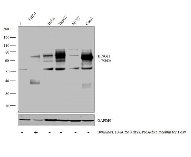 IFNGR1 Rabbit anti-Human, Polyclonal, Invitrogen 100 μL; Unconjugated:Antibodies