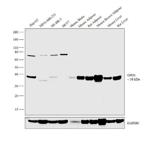 GPD1 Rabbit anti-Human, Mouse, Rat, Polyclonal, Invitrogen 100 µL;