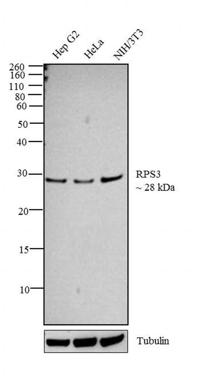 RPS3 Rabbit anti-Human, Mouse, Rat, Polyclonal, Invitrogen 100 µL;
