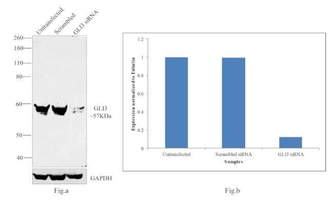 GLI3 Rabbit anti-Human, Mouse, Rat, Polyclonal, Invitrogen 100 µL;
