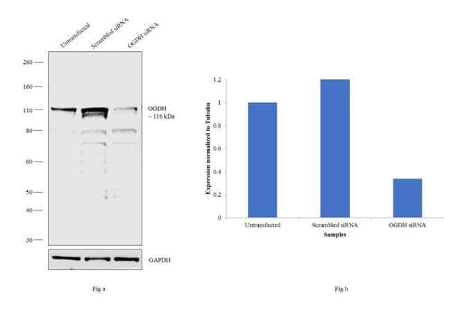 OGDH Rabbit anti-Human, Mouse, Polyclonal, Invitrogen 100 µL; Unconjugated