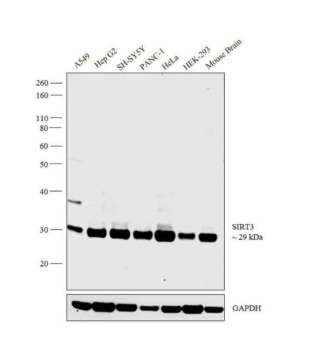 SIRT3 Rabbit anti-Human, Polyclonal, Invitrogen 100 µL; Unconjugated