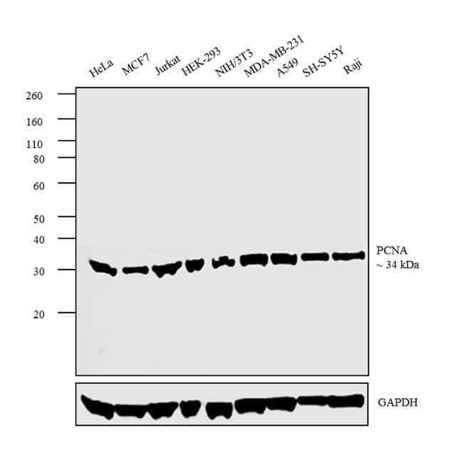 PCNA Rabbit anti-Human, Mouse, Rat, Polyclonal, Invitrogen 1 mL; Unconjugated