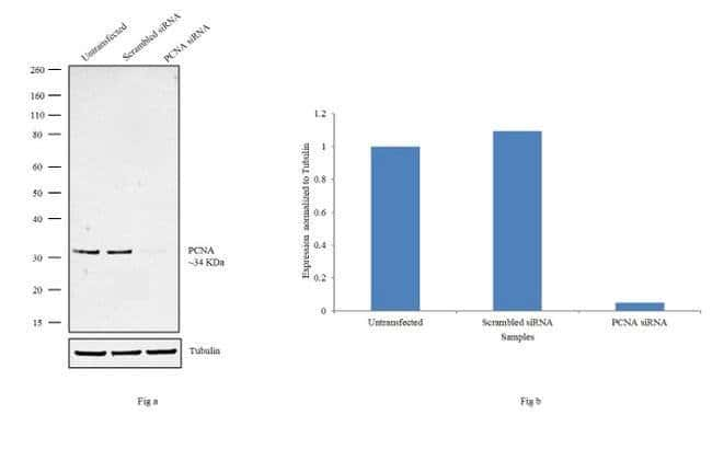 PCNA Rabbit anti-Human, Mouse, Rat, Polyclonal, Invitrogen 1 mL; Unconjugated:Antibodies