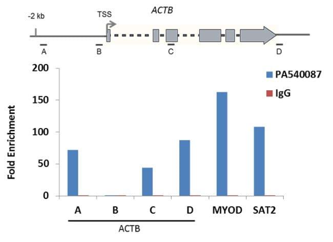 Methyl-Histone H3 (Lys4) Rabbit anti-Human, Polyclonal, Invitrogen 50 µg;