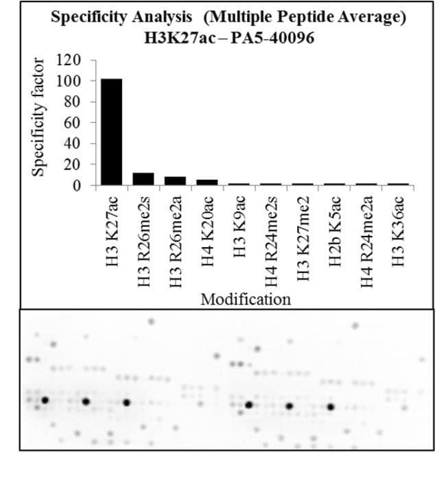 Acetyl-Histone H3 (Lys27) Rabbit anti-Human, Mouse, Polyclonal, Invitrogen