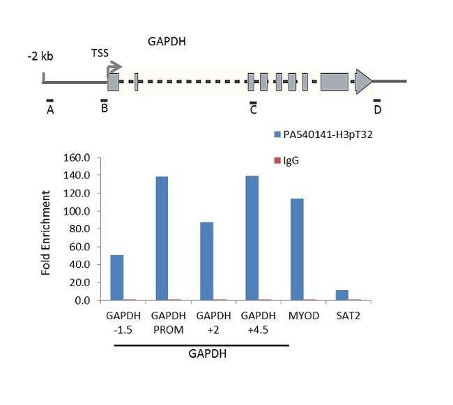 Phospho-Histone H3 (Thr32) Rabbit anti-Human, Mouse, Polyclonal, Invitrogen