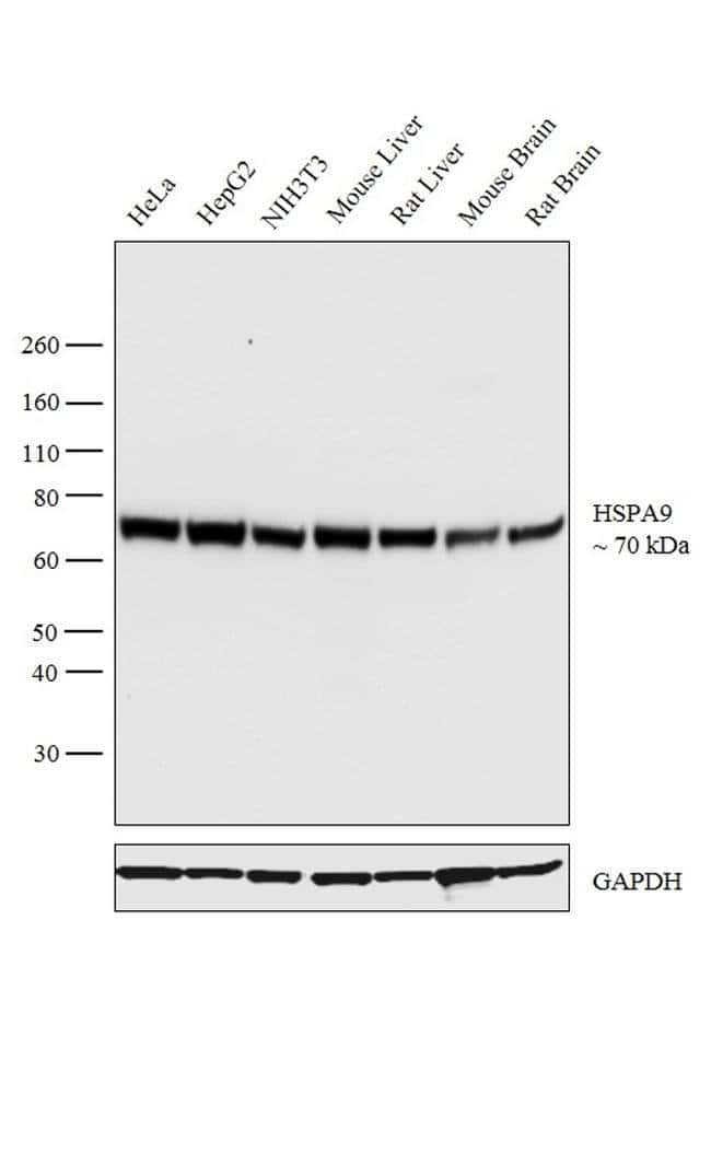 HSPA9 Goat anti-Human, Mouse, Rat, Polyclonal, Invitrogen™ 100 μg; Unconjugated Primary Antibodies Hs to Hz