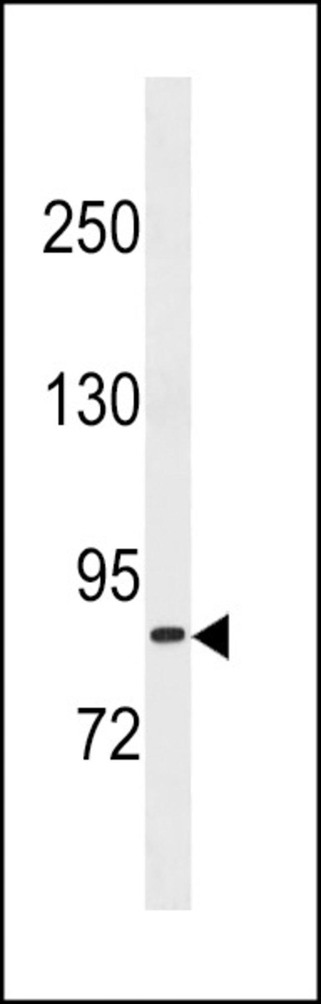 TXNRD3 Rabbit anti-Human, Polyclonal, Invitrogen 400 µL; Unconjugated