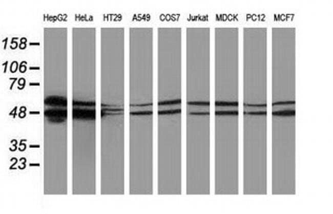 PACSIN3 Mouse anti-Canine, Human, Rat, Clone: OTI2A6, liquid, TrueMAB