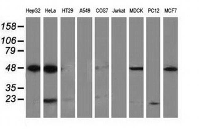 PACSIN3 Mouse anti-Canine, Human, Clone: OTI4A7, liquid, TrueMAB  100 µL;