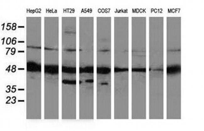 PACSIN3 Mouse anti-Canine, Human, Rat, Clone: OTI2D7, liquid, TrueMAB