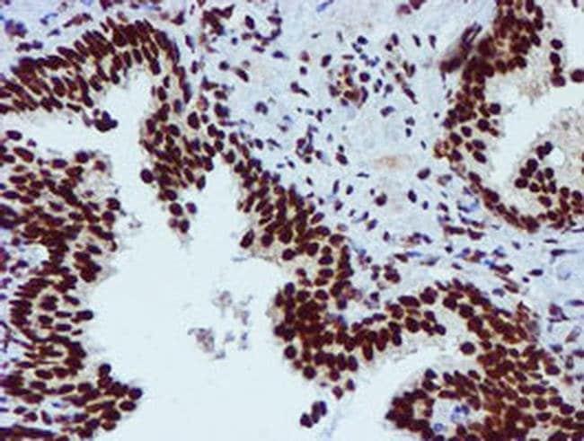 PADI4 Mouse anti-Human, Clone: OTI4H5, liquid, TrueMAB  30 µL; Unconjugated