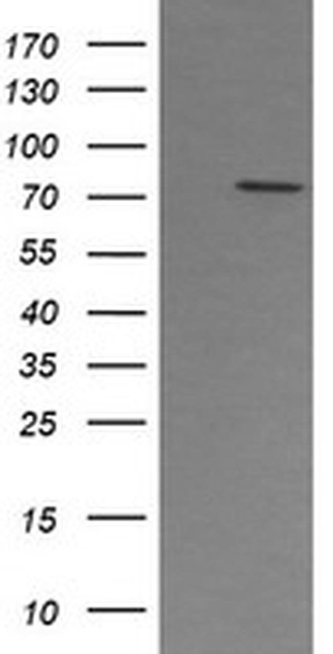 PADI4 Mouse anti-Human, Clone: OTI5E7, liquid, TrueMAB  100 µL; Unconjugated