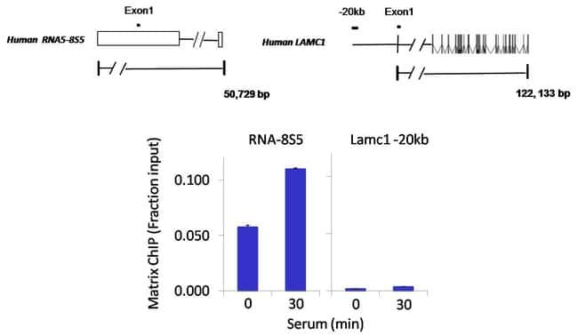 PAF49 Rabbit anti-Human, Polyclonal, Invitrogen 100 µL; Unconjugated