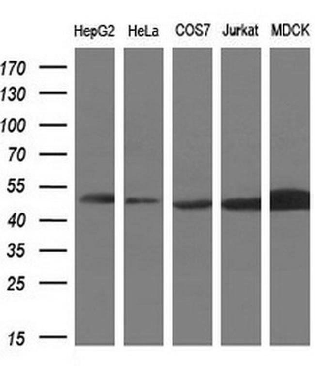 PAICS Mouse anti-Human, Clone: OTI1B4, liquid, TrueMAB  100 µL; Unconjugated